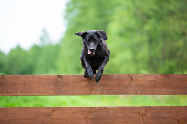 a black labrador jumping over a fence